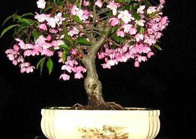 Bonsai-Freunde Nahe-Hunsrück e.V. - Unsere Bonsai